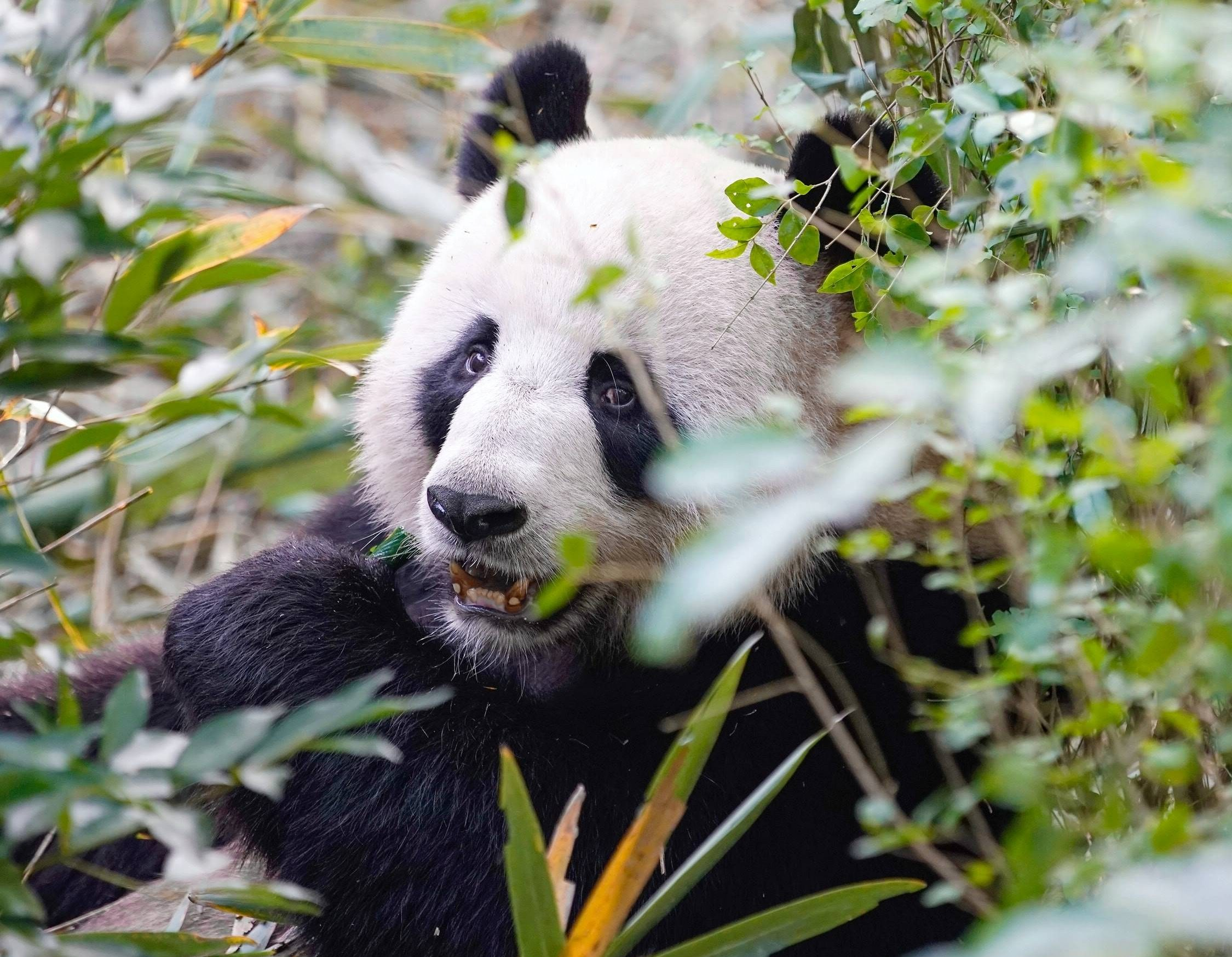 Pandas_in_Chengdu