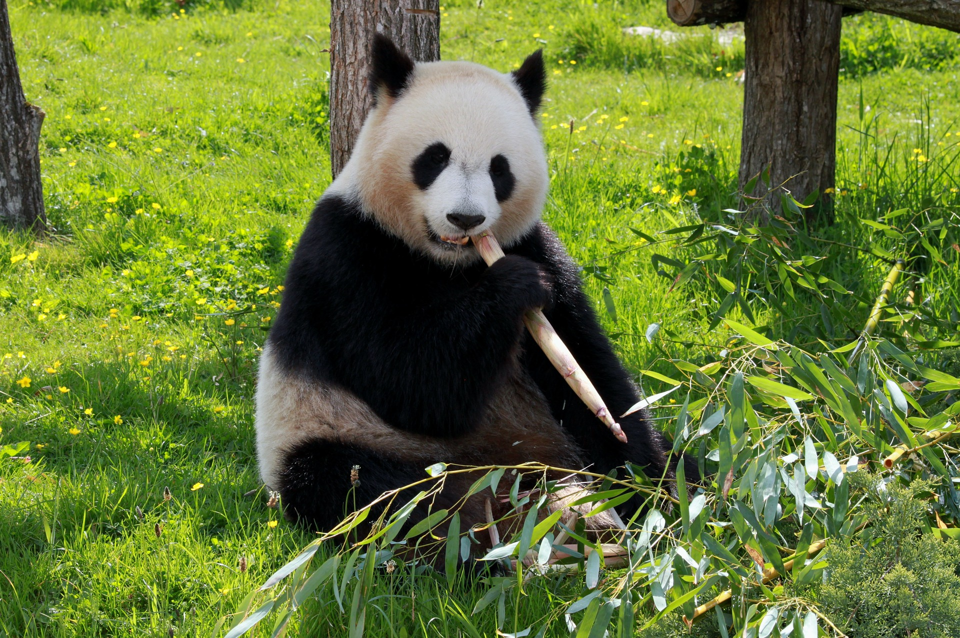 Panda_in_Chengdu