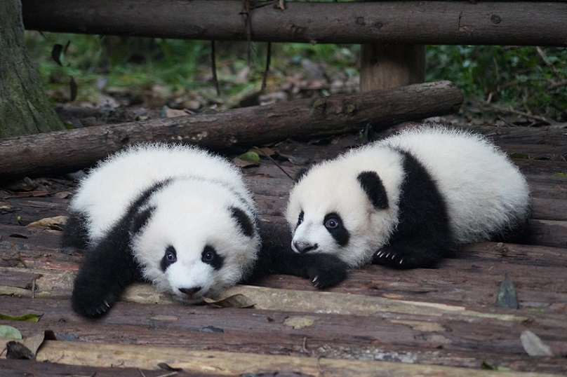 Chengdu Pandas - whatever the weather, you'll often see them doing this