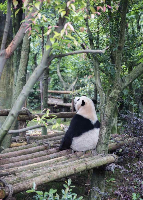 Things to do in Chengdu - it ain't all about the Panda's!